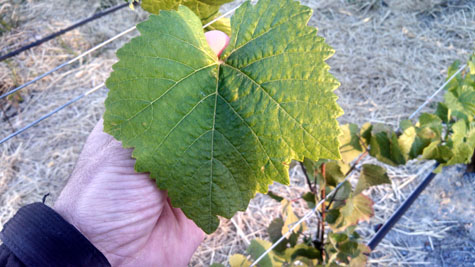 Migration Vineyard Leaf