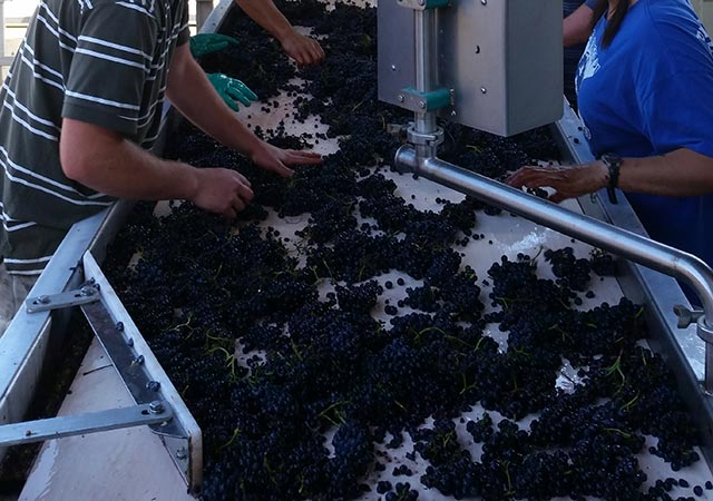 grape sorting