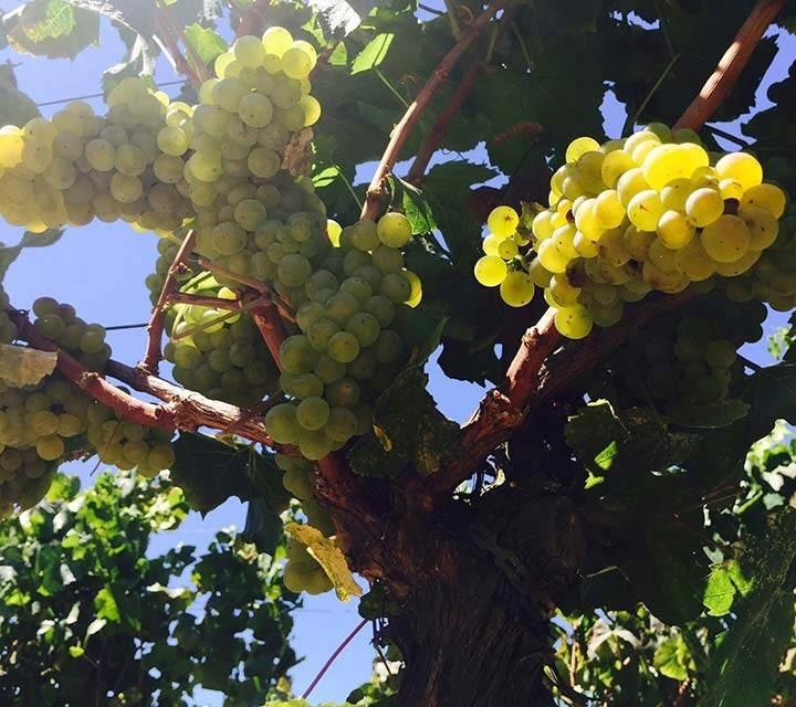 Chardonnay at Running Creek Vineyard