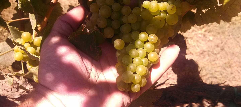 Migration Dierberg Vineyard Feature Image